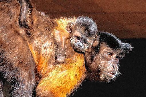 Im Vogelpark wurde ein Kapuzineraffenbaby geboren.   Foto: zVg Foto: Markgräfler Tagblatt