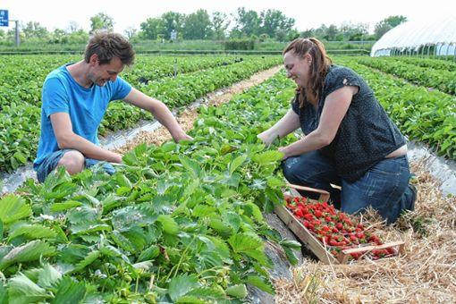 Die Erdbeerernte war 2017 sehr gut für die Erzeuger im Markgräflerland.    Foto: Ralph Lacher Foto: Weiler Zeitung