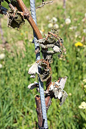 Ein tristes Bild nach den Frostnächten  in den Reben: braun statt grün.   Foto: sif Foto: Weiler Zeitung