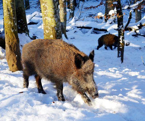 Die Zahl der Wildschweine im Röttler Wald soll reduziert werden. Foto: Archiv