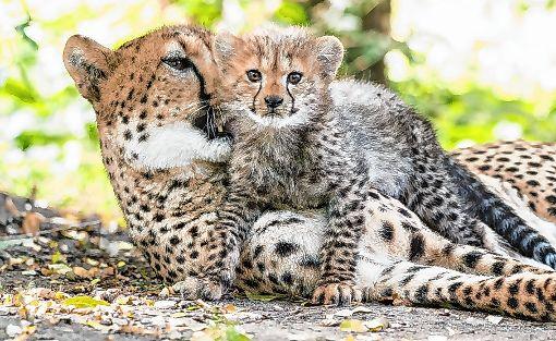 Onysha und Opuwo sind die ersten beiden Jungen der fünfjährigen Gepardin Novi.   Foto: zVg/Zoo Basel Foto: Die Oberbadische