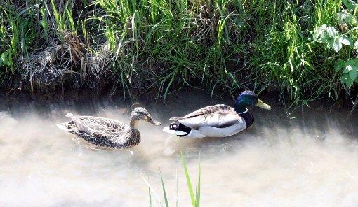 Auch Enten fühlen sich in Fischingen, wie hier am Riedmattenbach, wohl.  Foto: Daniela Buch Foto: Weiler Zeitung
