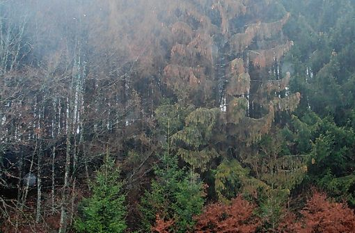 Der Borkenkäfer schlägt an vielen Stellen im Wald zu. Foto: Gerd Sutter