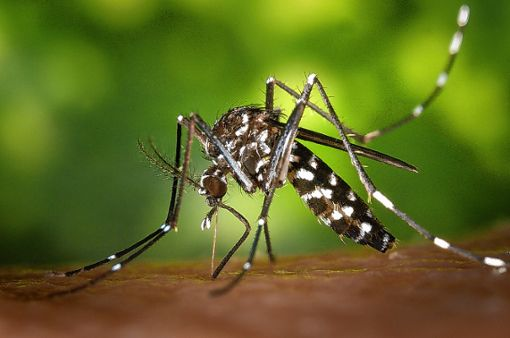 Der Stich der Asiatischen Tigermücke ist gefährlich. Foto: Archiv