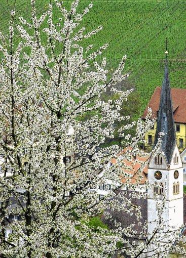 Frühlingsboten    Foto: zVg Foto: Die Oberbadische