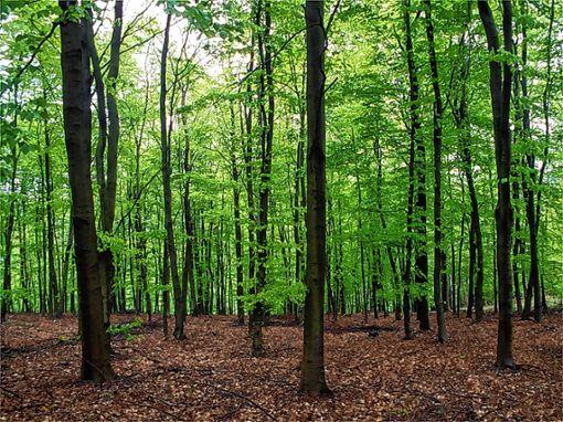 Der Schwörstädter Gemeindewald ist stark vom Borkenkäfer befallen. Foto: Archiv